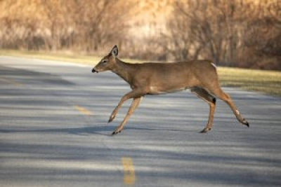 8 Tips for Safe Driving During Deer Season